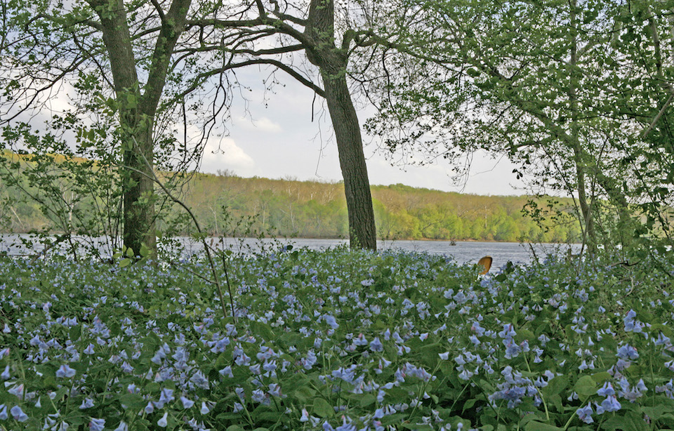 Blue Bells at Riverbend - (c) Walt Lawrence